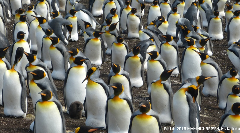 Koenigspinguine 2017 Falkland